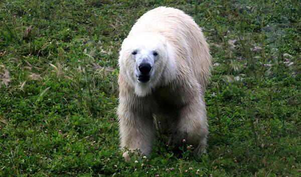 Ours blanc 4_modifié-1